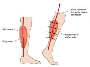 calf blood circulation
