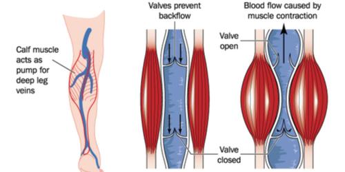 【Health Science Blog】Vol.15 「ふくらはぎを鍛えてあげれば、心臓が良くなる ってどういうこと?」